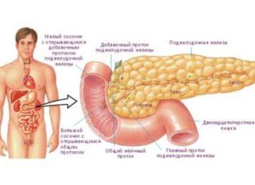 Какие размеры поджелудочной железы являются нормой?