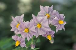Польза цветов картофеля при лечении лейкоплакии