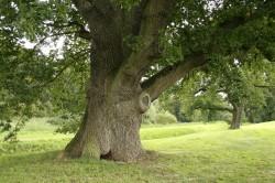 Использование коры дуба для лечения вульвита