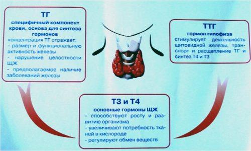 Одно из самых важных мест в системе жизнедеятельности органов человека занимают гормоны щитовидной железы