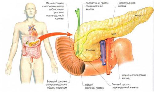 В самой системе питания организма поджелудочная железа занимает второе место не только по величине, но и по широте выполняемых задач