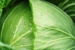 Капустный лист против остеоартроза