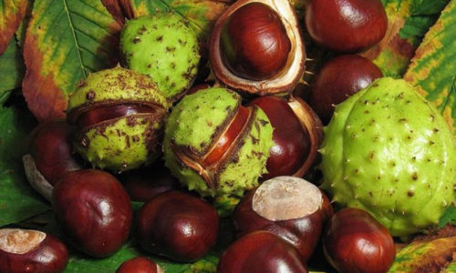 Конский каштан от варикоза, рецепт применения которого давно используется в медицине - плод дерева, растущего в европейской части России