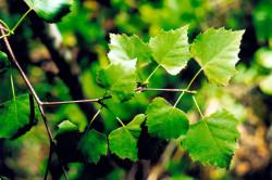 Листья березы для лечения пиелонефрита