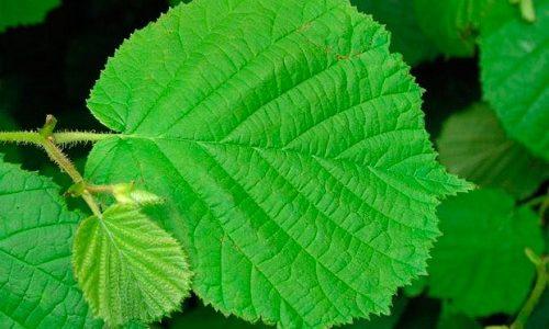 Флебит можно лечить народными средствами. К примеру, использовать отвар из листьев орешника