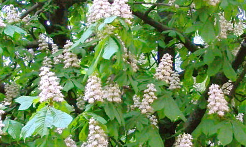 Для борьбы с болезнью используются не только плоды дерева, но и его листья и цветы, которые заготавливают весной в период цветения