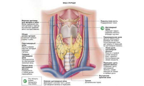 Схема строения и расположения щитовидной железы