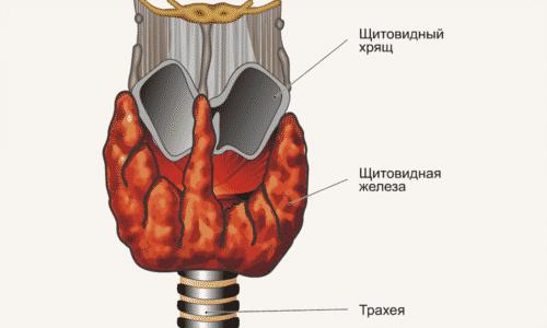 Щитовидка состоит из двух долей и имеет форму бабочки