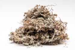 Сушеница для лечения плеврита легких